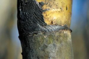 Closeup of recently burnt cane ready for harvest at Frank Baletta's farm, Brandon (near Ayr), Burdekin Irrigation Area, SE of Townsville.