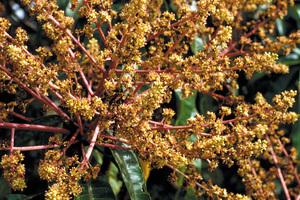 Closeup view of mango tree flowers, Cardwell. QLD.
