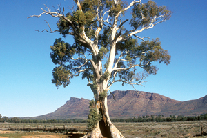 Casneaux's Tree with the ramparts of Wilpena Pound in the background. Flinders Ranges, SA. 1992.