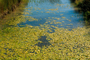 Irrigation channel choked with water lillies at Griffith, NSW. 1995.