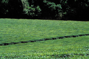 Tea plantation along Palmerston Highway, west of Innisfail, QLD.