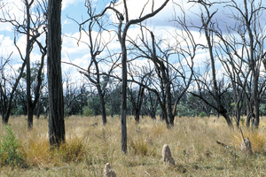 Dead woodland (due to drought conditions) with termite mounds, near Pentland, QLD.