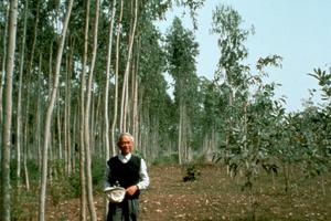 Eucalyptus Camaldulensis  Plantation