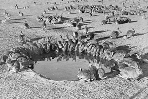 Rabbits around a Water Trough