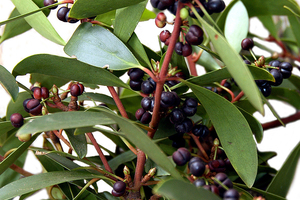 Leaves and Berries of the Mountain Pepper - Tasmannia lanceolata