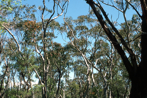 Peppermint and Scribbly Gum Trees