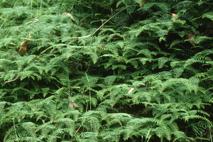 Ferns, Black Spur