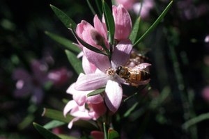The Pink wax flower - Eriostemon australasius - West Head, NSW