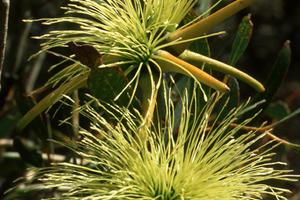 The Bushy Yate - Eucalyptus lehmannii