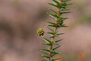 The Prickly Moses Wattle - Acacia ulicifolia