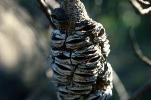 Burnt Banksia Seed Cones