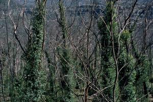 Epicormic Regeneration on Eucalypts, Blue Mountains, NSW