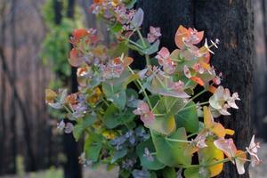 Eucalypt regrowth after Black Saturday bushfires