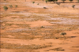 Cattle in dry landscape