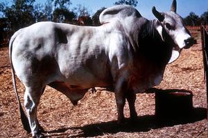 A Brahman Bull