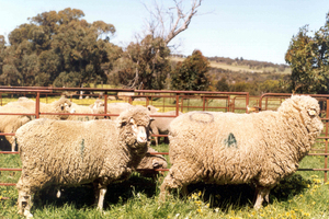 A normal sized control sheep (left) and transgenic sheep (right).