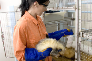 CSIRO animal technician with ferrets at AAHL