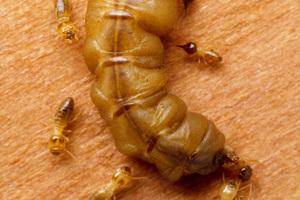 A mature queen termite