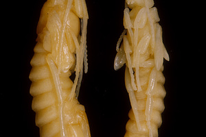Pupae of the Sirex Wasp, Sirex noctilio.