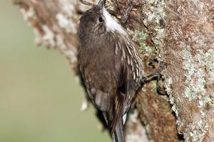 White-throated Treecreeper, Jamieson, Victoria