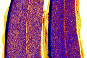 Eucalyptus leaves showing traces of different minerals