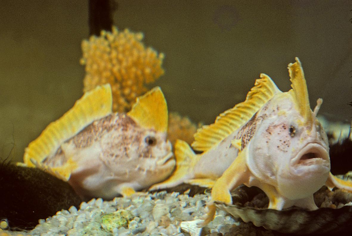 Необычные рыбы с руками и ногами (4 фото) Фото, картинки, видео