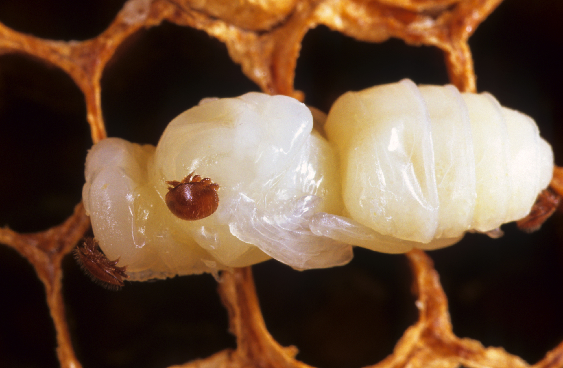 Varroa parazitinden dolayı ölmüş yetişkin arı