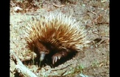 The Echidna (or Spiny Ant-eater)