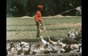 Duck Farming - An Indonesian Tradition