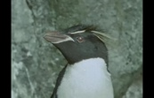 The Penguins of Macquarie Island