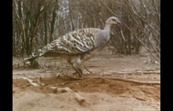 The Mallee Fowl