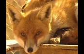 Birth Control for Foxes - Sci files/Australia Advances - Series 1