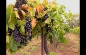 Disease Resistant Grapes - Sci files/Australia Advances - Series 7